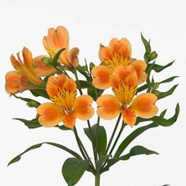 Alstroemeria Orange