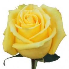 Rosa Mohan 40 cm
