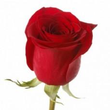 Rose Freedom 70 cm