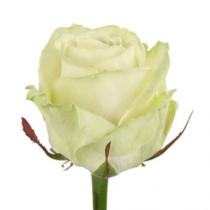 Rosa Avalange 50 cm