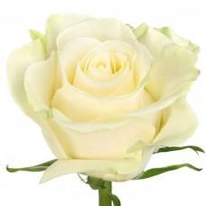 Rose Mondial 80 cm