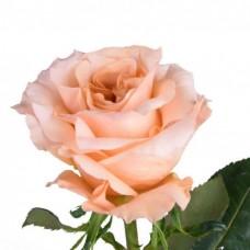 Rose Shimmer 70 cm
