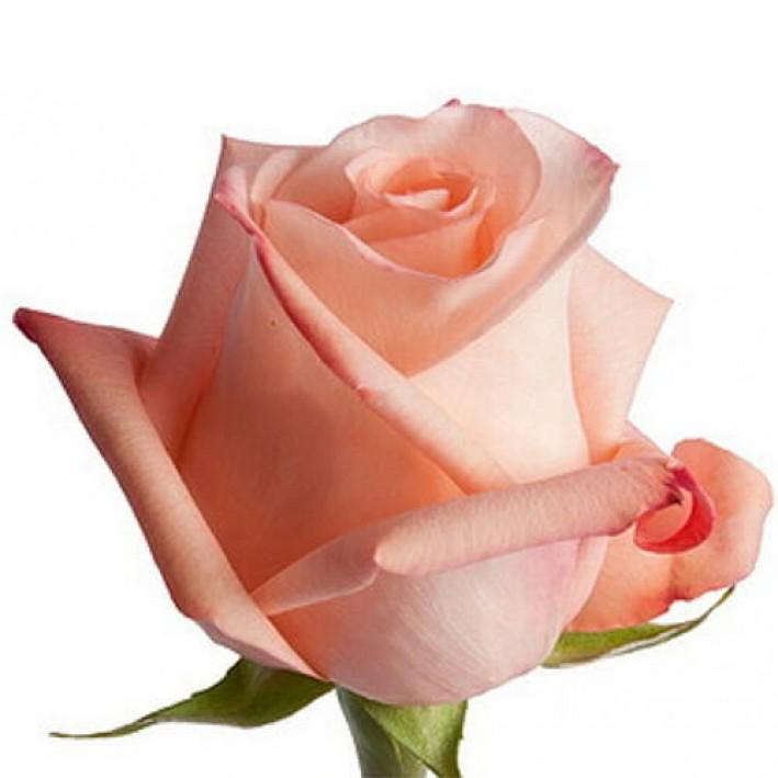 Rose Engagament 50 cm