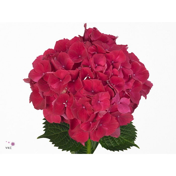 Hydrangea burgundy