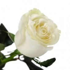 Rose Mondial 90 cm