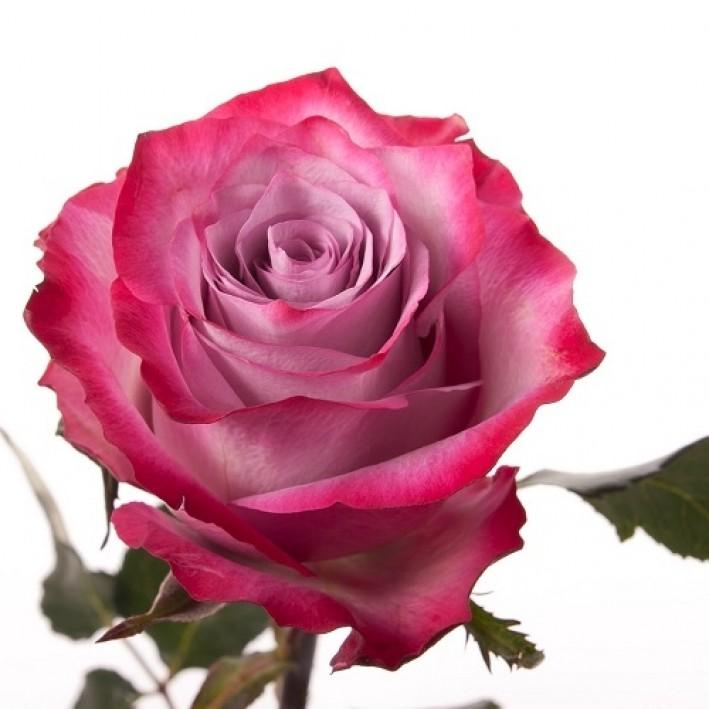 Rose Deep Purple 50 cm