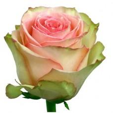 Rose Frutetto 50 cm