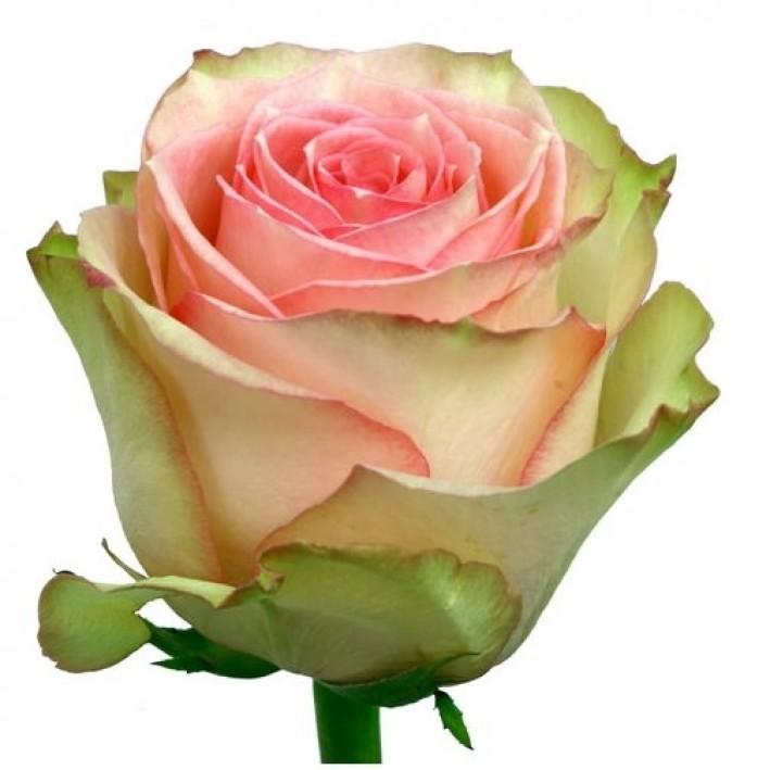 Rose Frutetto 60cm
