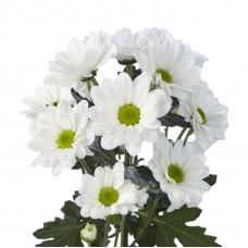 White Chrysanthemum Bacardi