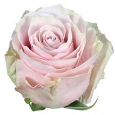 Rose Pink Mondial 60 cm