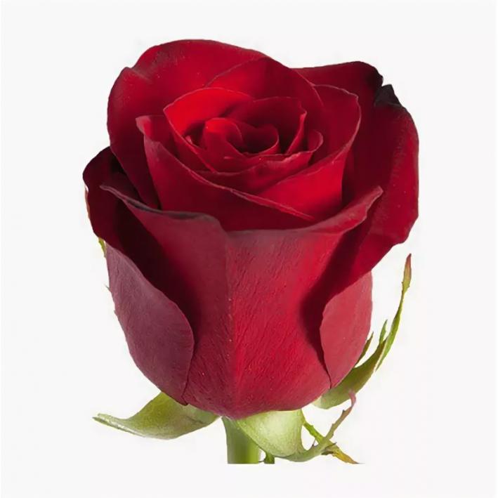 Rose Freedom 90 cm