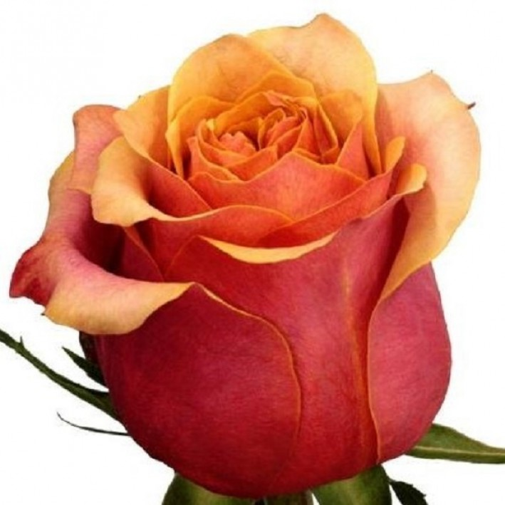 Rose Cherry Brandy 40 cm