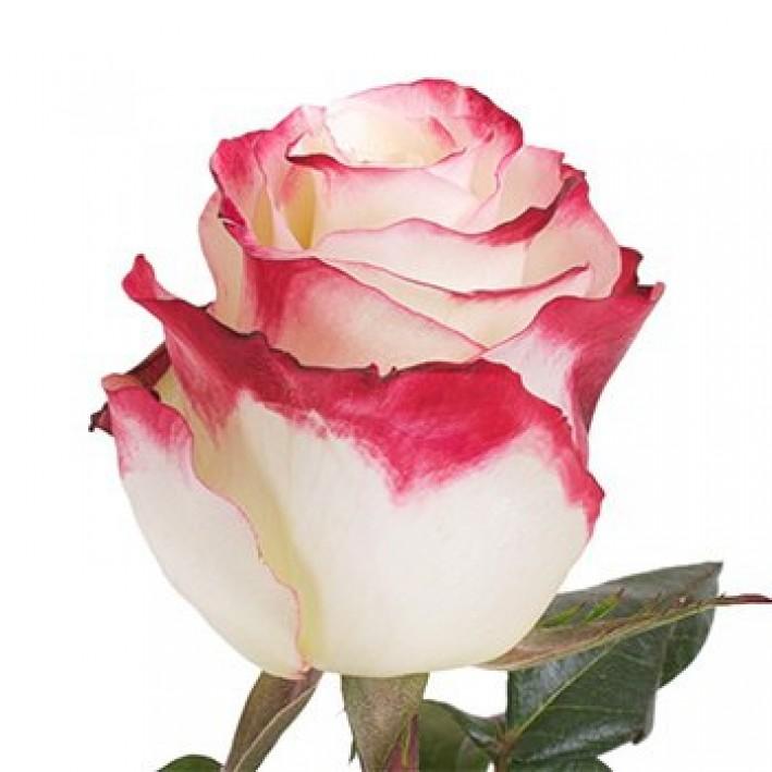 Rosa Sweetness 40 см