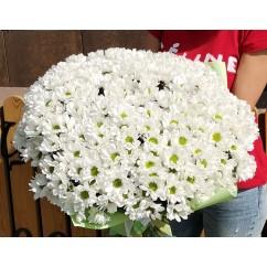 33 white chrysanthemums