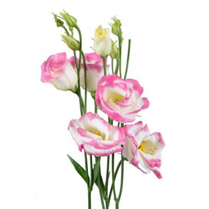 Eustoma pink and white