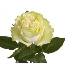 Rose Moonstone 50 cm