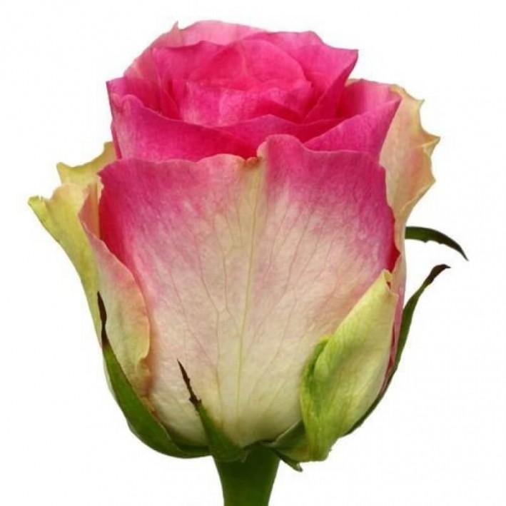 Rose Malibu 40 cm