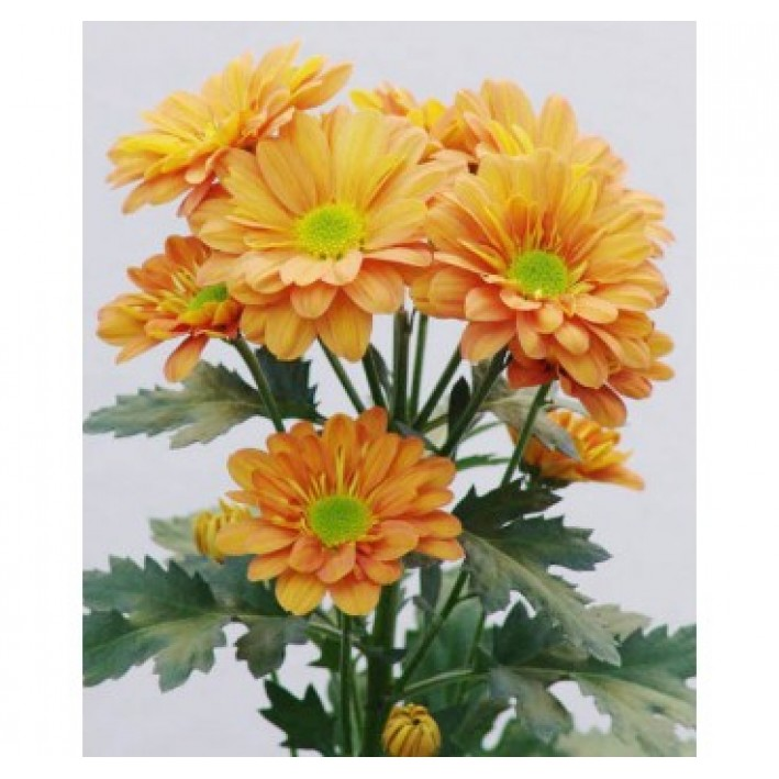 Bacardi Chrysanthemum Orange