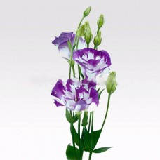 Eustoma white-violet