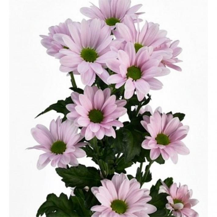 Bacardi Chrysanthemum Lilac