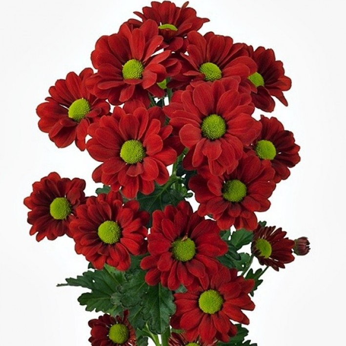 Bacardi Chrysanthemum Burgundy
