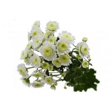 Chrysanthemum Stalion