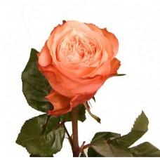 Rosa Kahala 70 cm