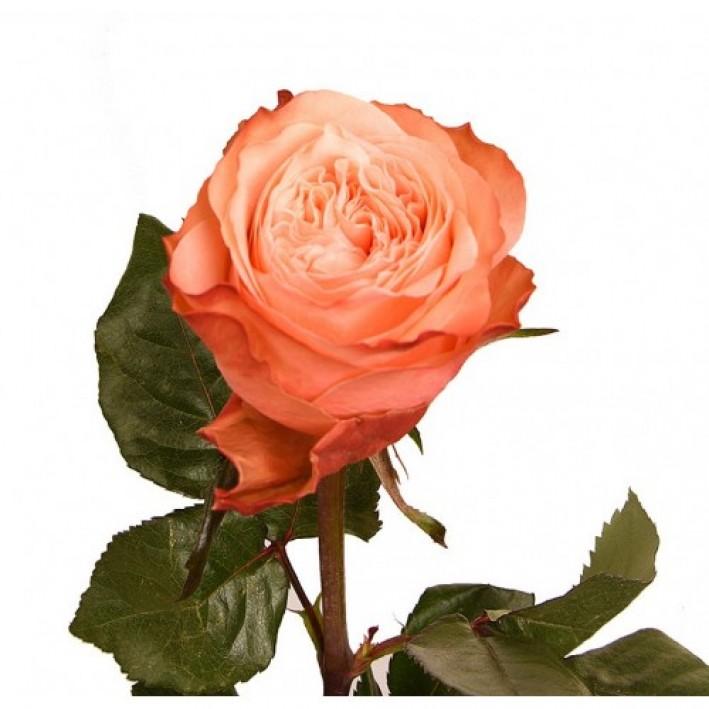 Rosa Kahala 60 cm