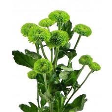 "Chrysanthemum ""Feeling green"""