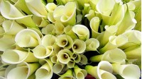 Bouquets with callas