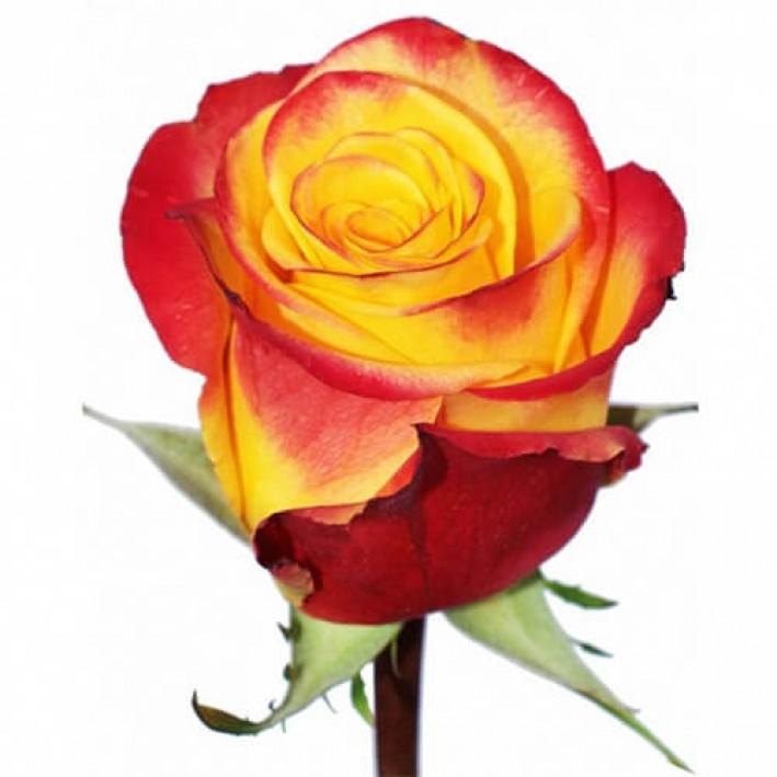 Rose Hight & Yellow Magic