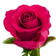 Rose Gotcha