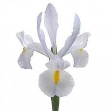 Iris white