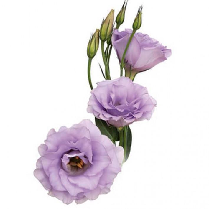 Eustoma lavender