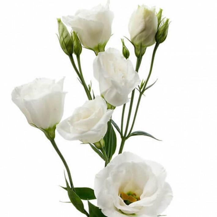 Eustoma white