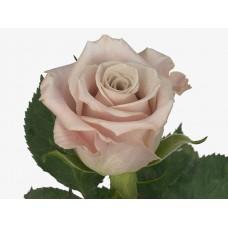 Rose Menta 60 сm