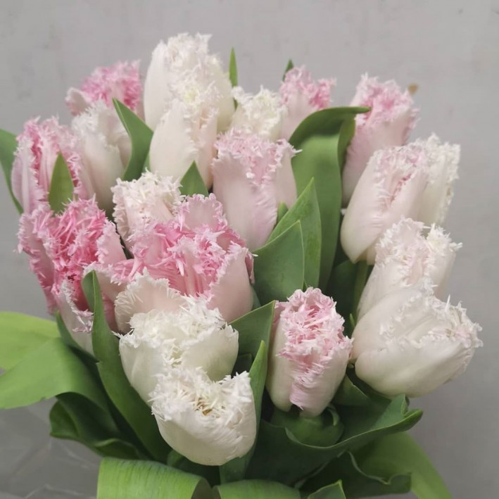 Pink peony tulip