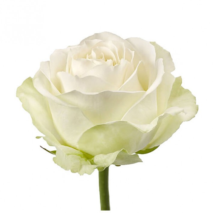 Rosa Avalange 40 cm