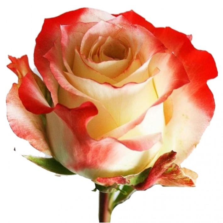 Rose Cabarete 50 cm