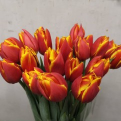 Red and yellow peony tulip